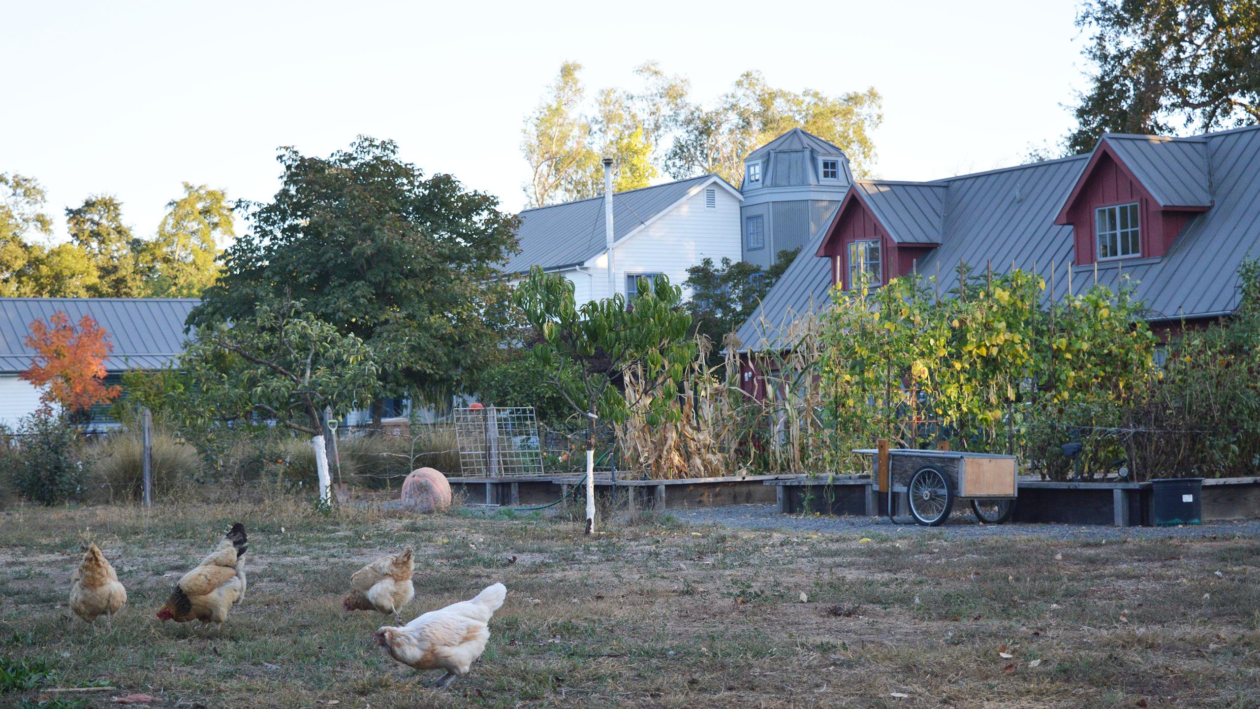 Napa-Farmhouse-chicken-&-gardens